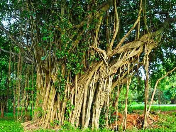 Vỏ cây đa có thể giúp điều trị viêm âm đạo hiệu quả