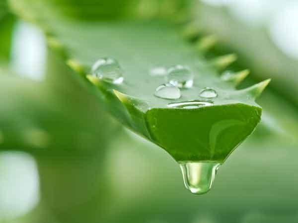 Nha đam có thể giúp điều trị viêm âm đạo hiệu quả
