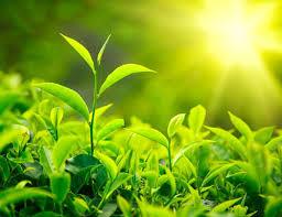 Có nên dùng lá trà xanh, trầu không để điều trị viêm âm đạo (1)