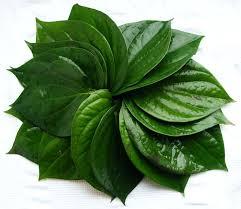 Có nên dùng lá trà xanh, trầu không để điều trị viêm âm đạo (2)